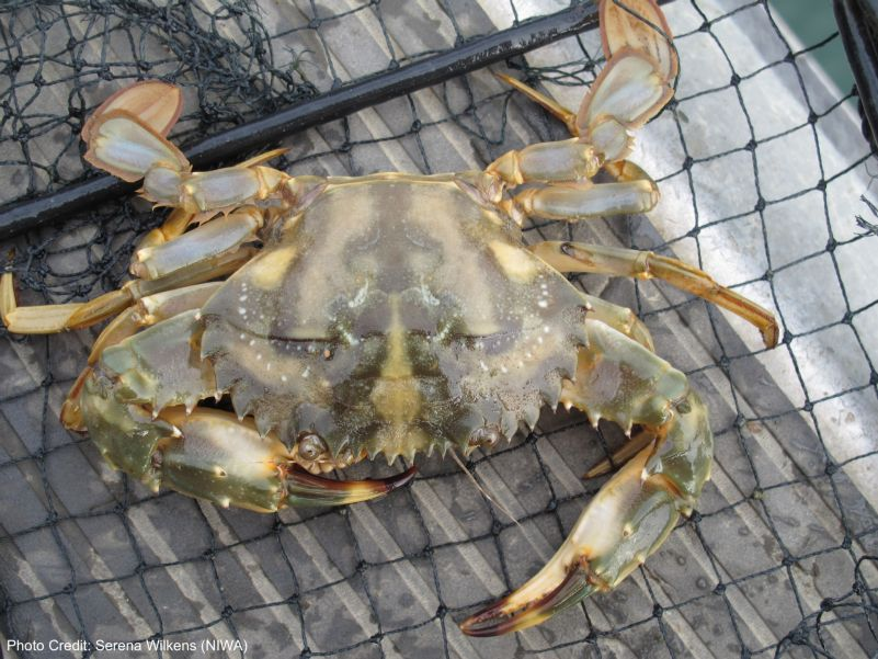 Asian Paddle Crab (Charybdis japonica)